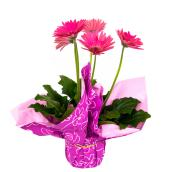Gerbera in 6-in Pot - Assorted Colours