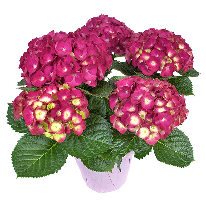 Hydrangea - 6.5-in - Assorted Colours