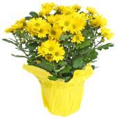 Chrysanthèmes de printemps en pot de 6 po, couleurs assorties