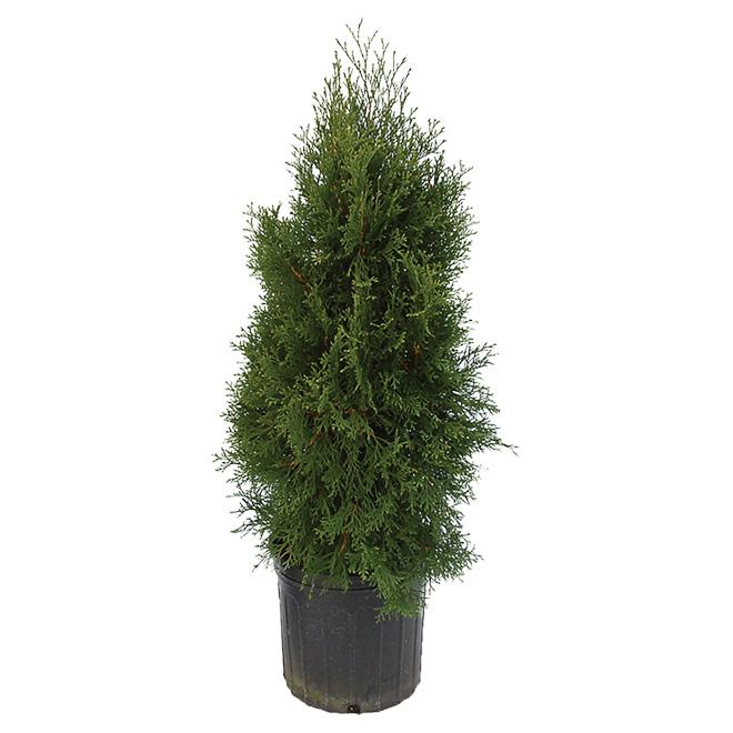 """""""Emerald"""" Cedar"""