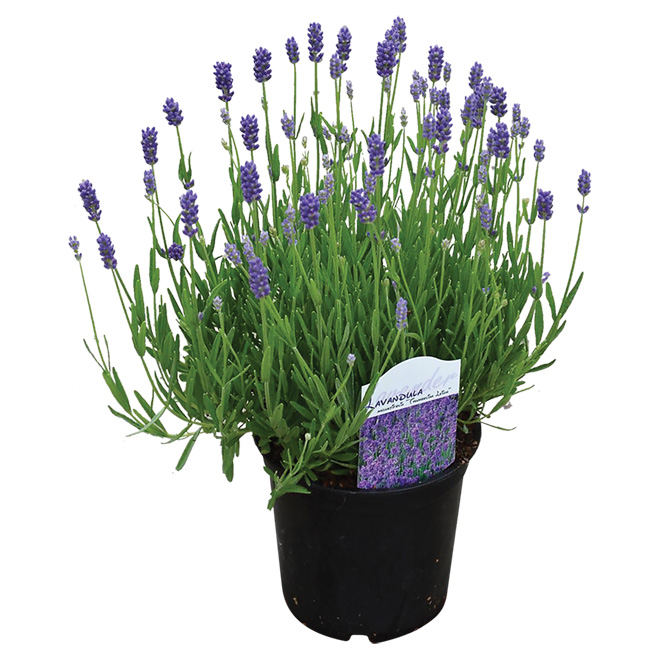 Devry Greenhouse Anouk Lavender - 5-in Pot