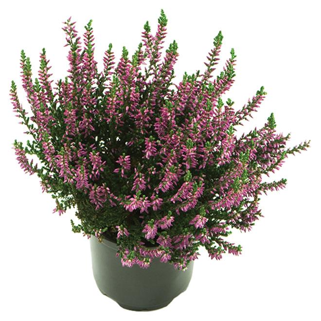 Arbuste «Erica»