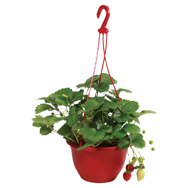 Assorted Strawberry Hanging Basket - 11-in