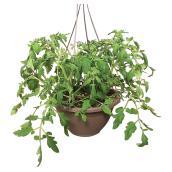 Plant de tomates en panier suspendu, 11 po, assorti