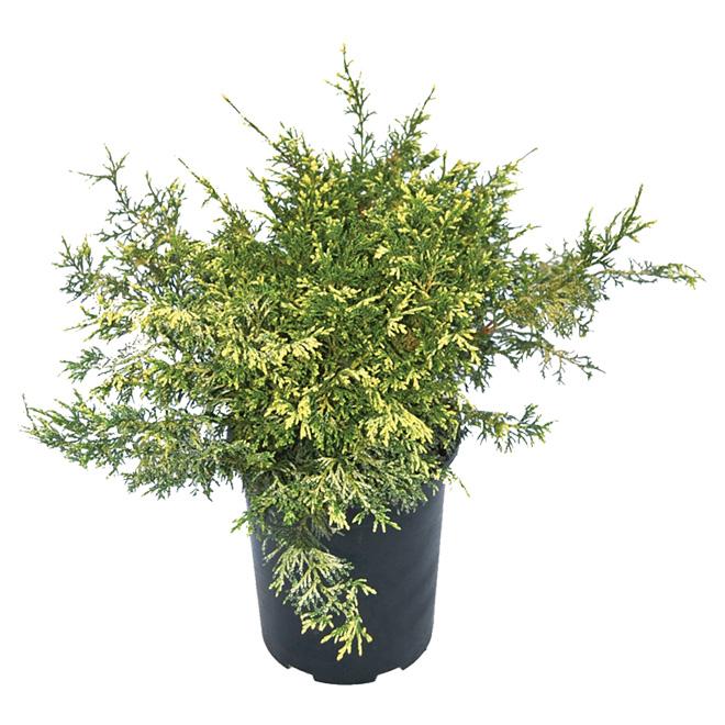 Arbuste «Juniperus»