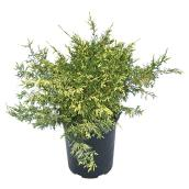 "Shrub - ""Juniperus"""