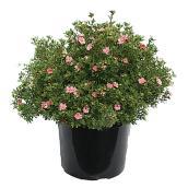 Arbustes et conifères assortis, pot de 1 gal