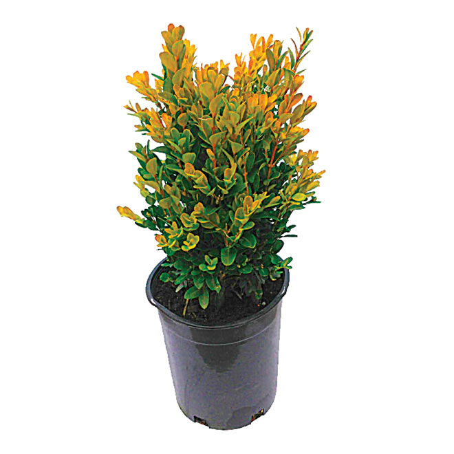 Shrub and Evergreens - Assorted - 1 Gal. Container