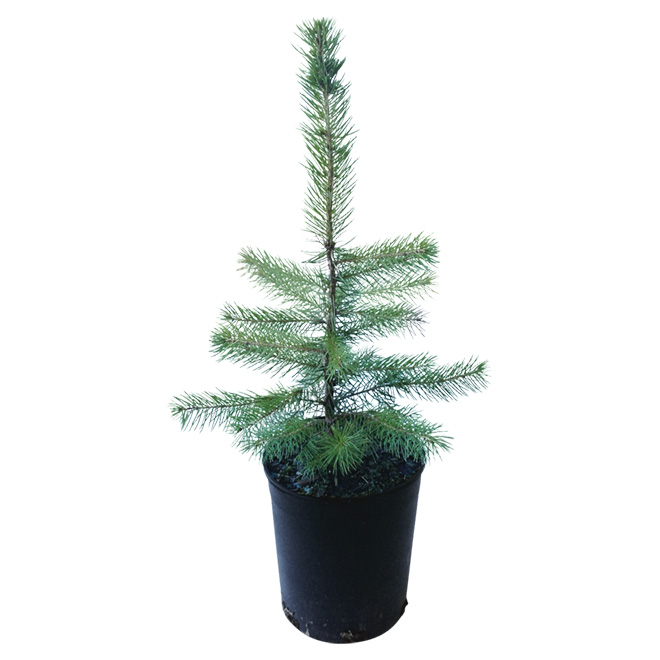 Colorado Spruce - Assorted Colours - 1-Gallon Pot
