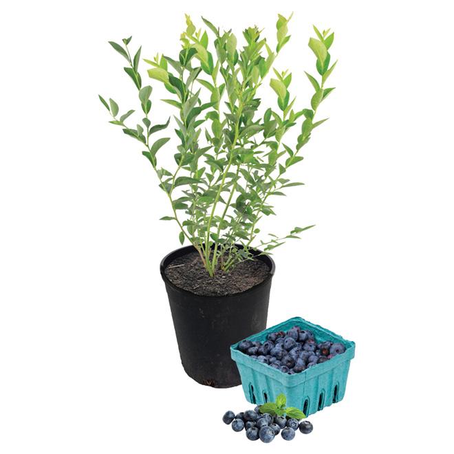 Plant de bleuets, 1 gallon, assorti
