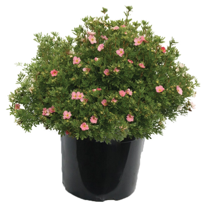 Assorted Potentilla - 1-Gallon Pot