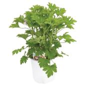 Scented Citronella Geranium - 1-Gallon