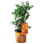 Assorted Citrus Plant - 1-Gallon Grower Pot