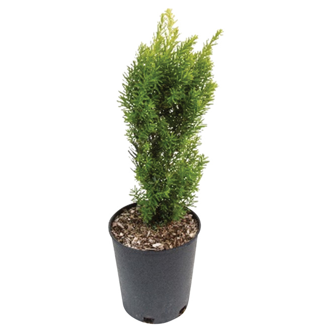 Assorted Taxus - 1-gal. Container