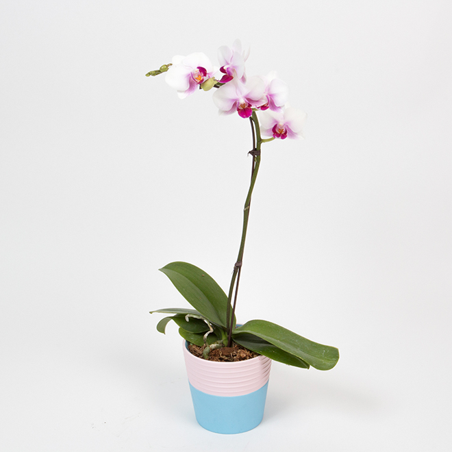 Orchid in 4-in Ceramic Pot - Assorted