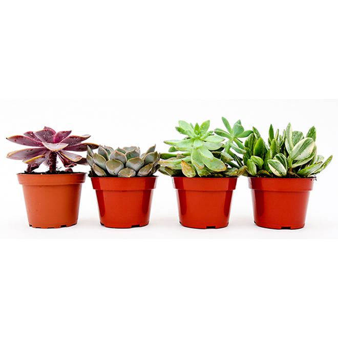 Succulente en pot de 4 po, assorti