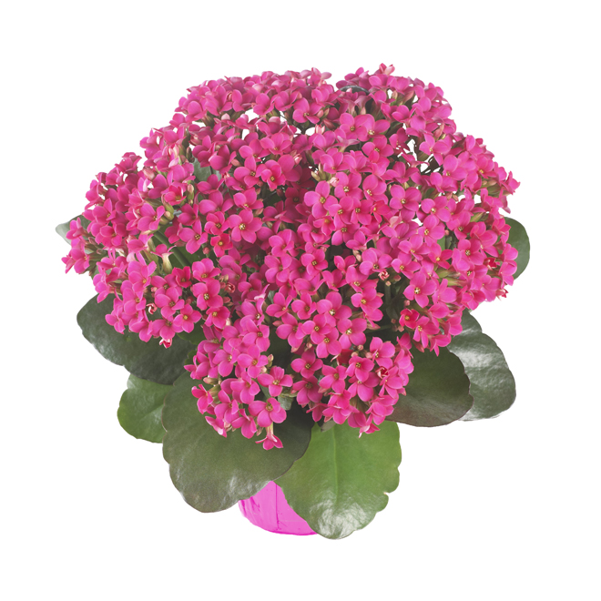 Kalanchoe in 6-in Pot - Assorted Colours