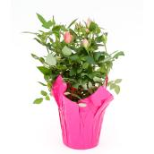 Roses miniatures en pot de 6 po, couleurs assorties