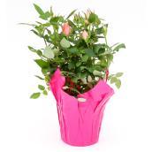 Roses miniatures en pot de 4 po, couleurs assorties