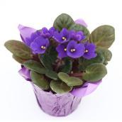 Violette africaine en pot de 4 po, assorti