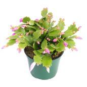 Devry Greenhouse - Zugocactus Indoor Pot - 6-in - Assorted