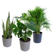 Plantes tropicales assorties, pot de 10 po