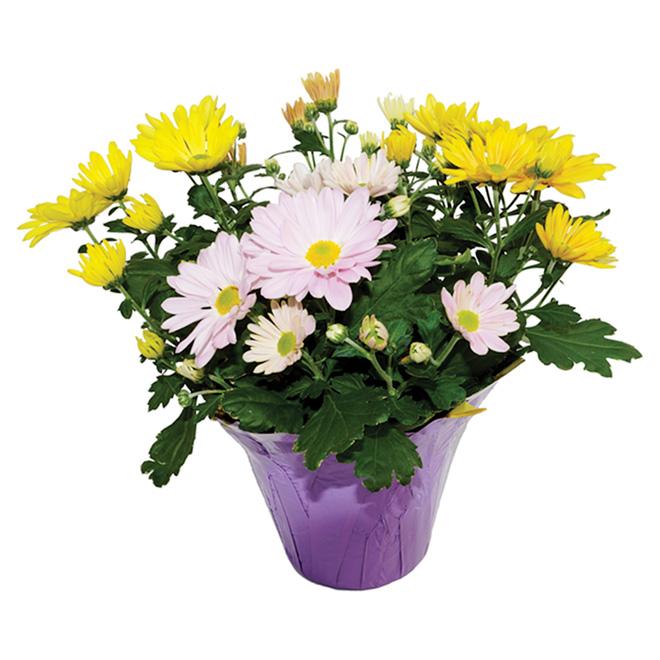 Chrysanthème de Pâques, 6 po, couleurs assorties
