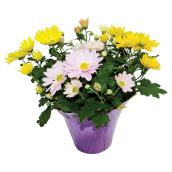 "Easter Mum - 6"" - Assorted Colours"