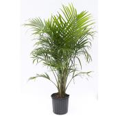 Majesty Palm - 10-in Grower Pot