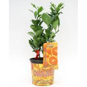 Plant d'agrumes, 3 gal, assorti
