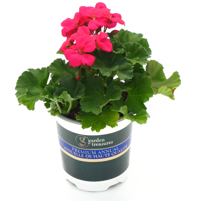 Assorted Geranium - 1 Litre