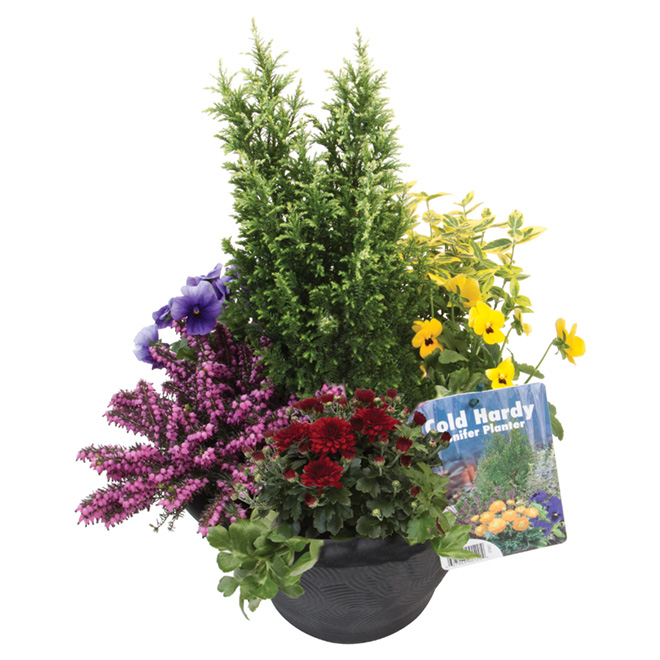 Floral Arrangement with Conifer - 11-in Decorative Planter - Assorted Colours