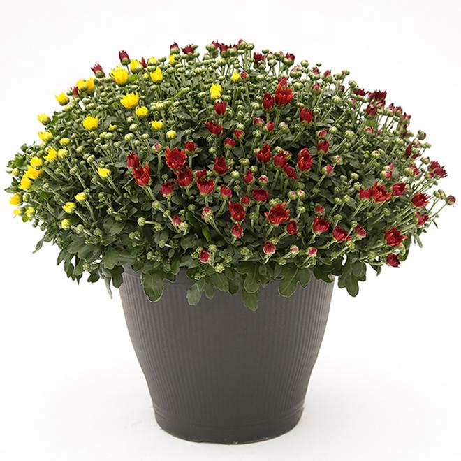 Chrysanthème, pot de patio de 13 po