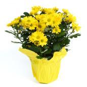 Chrysanthèmes en pot de 4 po, couleurs assorties