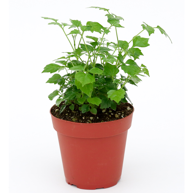Assorted Foliage - 6-in Planter
