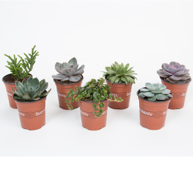 Succulentes assorties, pot 3,5 po