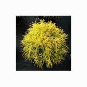 Cypress Gold Thread - 1-Gallon Growing Pot