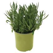 Plant de légumes ou fines herbes, 1 gal, assorti