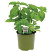 Fine Herb Plant - 4-in - Assorted