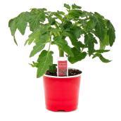 """Cherry Tomatoes Plant - 4"""""""