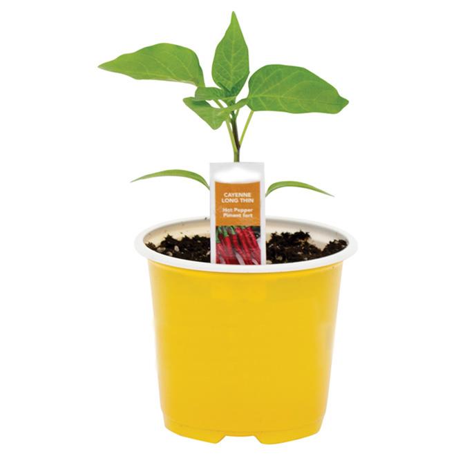 Plant de légumes, 4 po, assorti