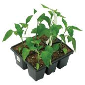 Set of 6 Vegetable Seedlings - Assorted