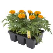 Annual Plant - Pack of 9