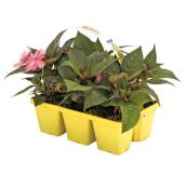 Sunpatiens assortis, Devry Greenhouse, 6/paquet