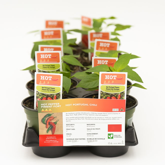 Piment fort assorti en pot, 4""
