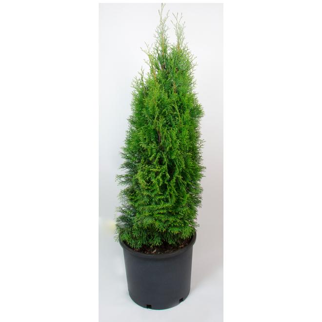 Emerald Cedar - 3-Gallon Container