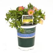Calibrachoa assortie, pot de 1 qt