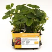 Strawberry Plant - 4-in - Assorted