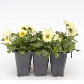 Assorted Pansies (Violets) - 6 Pack