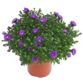 Assorted Aster - 1-Litre Container